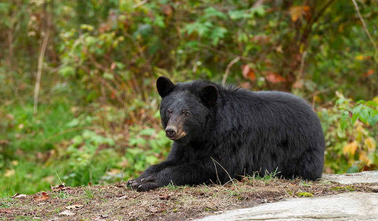 Black Bear Hunting Prospects in New England