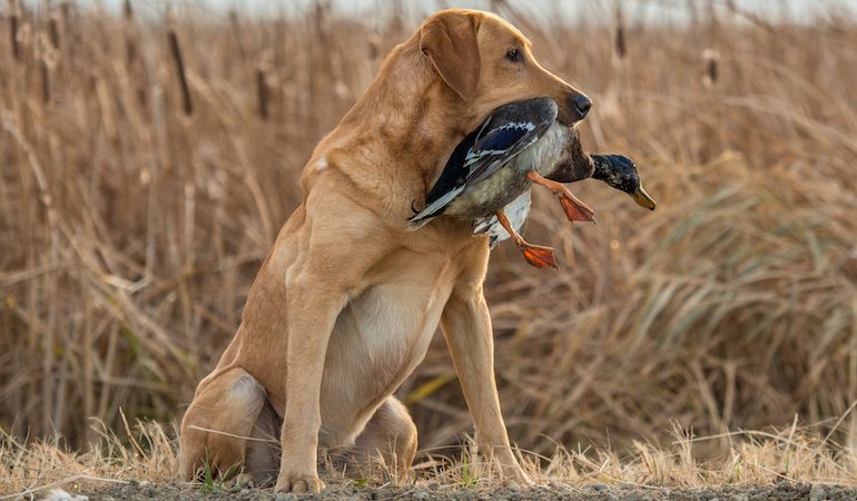 Pros and Cons of Using Duck Dogs to Hunt Upland Birds