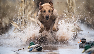In the waning days of waterfowl season, dogs and hunters alike can benefit from a regroup.