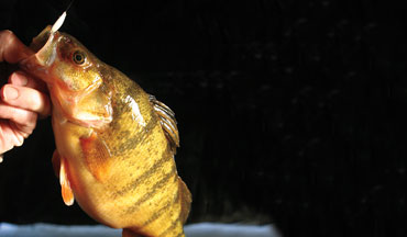 Studies suggest that the largest fish within a group can out-compete smaller individuals of the same species for food.