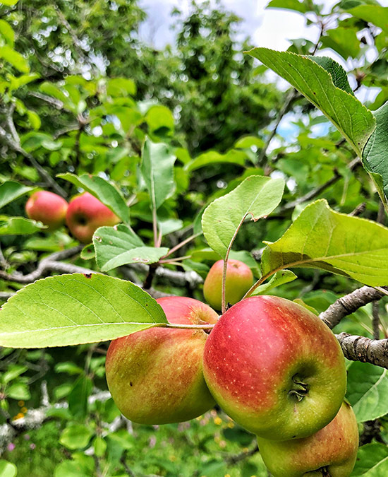 apple trees closeup