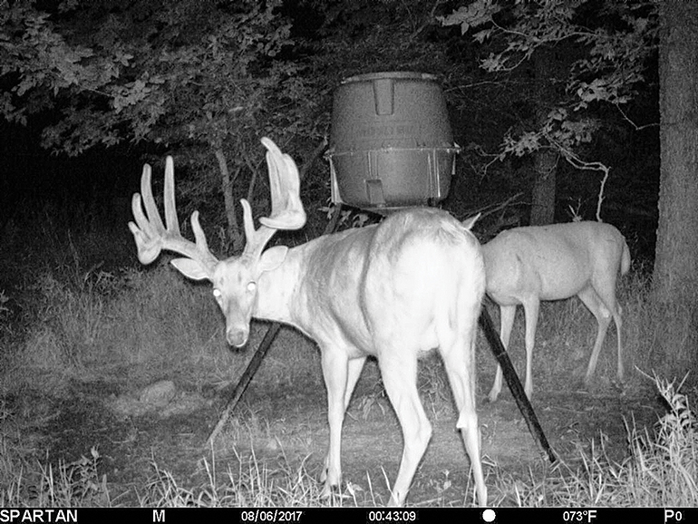 Longhorn buck trail cam photo