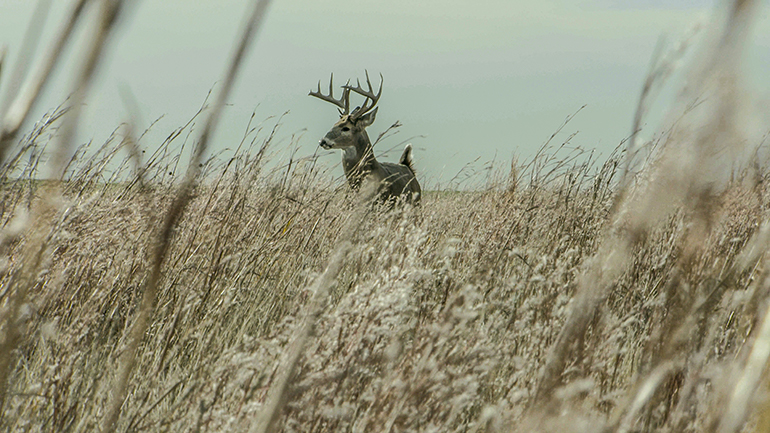 mature whitetail buck standing in field