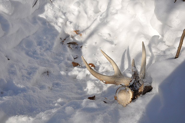 shed antler in deer bed