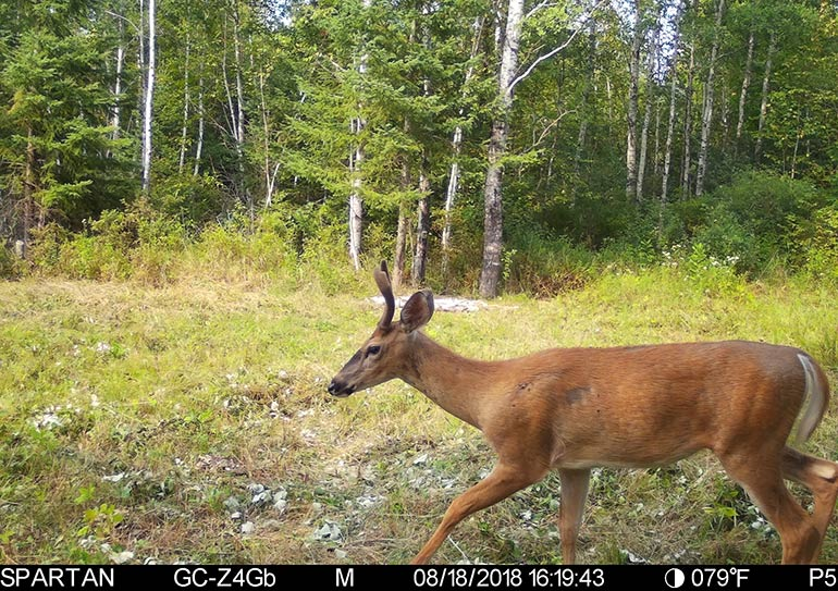 trail camera photo of whitetail buck in velvet
