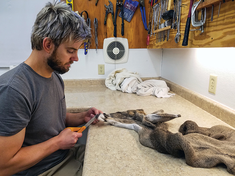 taxidermist cutting cape