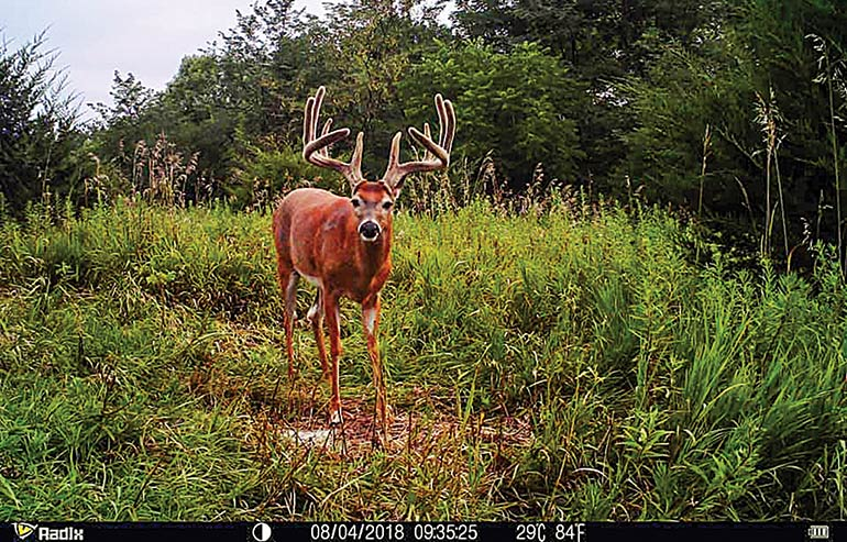 trail camera picture of lone whitetail buck in velvet