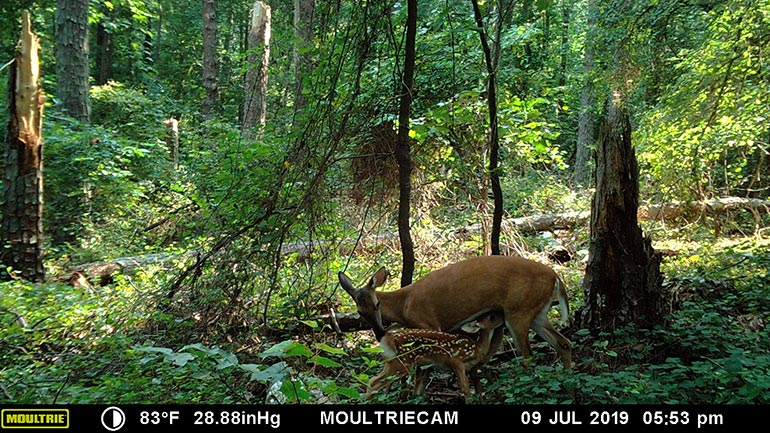 trail camera photo of nursing fawn