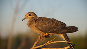 5 Steps to Better Dove Hunting