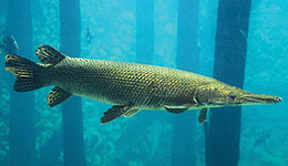Alligator Gar Research in Texas Helps Protect Trophy Fishery