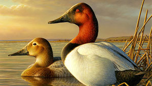 Canvasbacks Pose for Duck Stamp