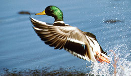North Dakota Wetland Conditions Favor Duck Hunters
