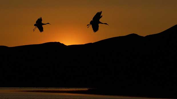 Sandhill cranes again flying high after near decimation