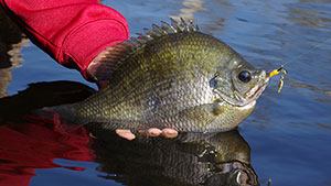 Tricks of the Trade for Trophy Bream