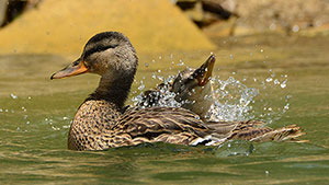 Duck Numbers Remain High Despite Drier Duck Factory Weather