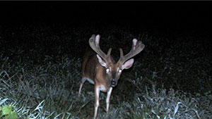 Early Antler Growth Clues to Determine Buck Rack Size Potential