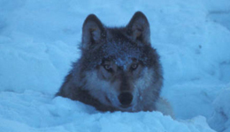 Conservation Groups Urge Stop to Wolf Negotiations