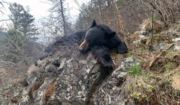 As bear numbers continue to flourish, sustainable hunting is the best management practice.