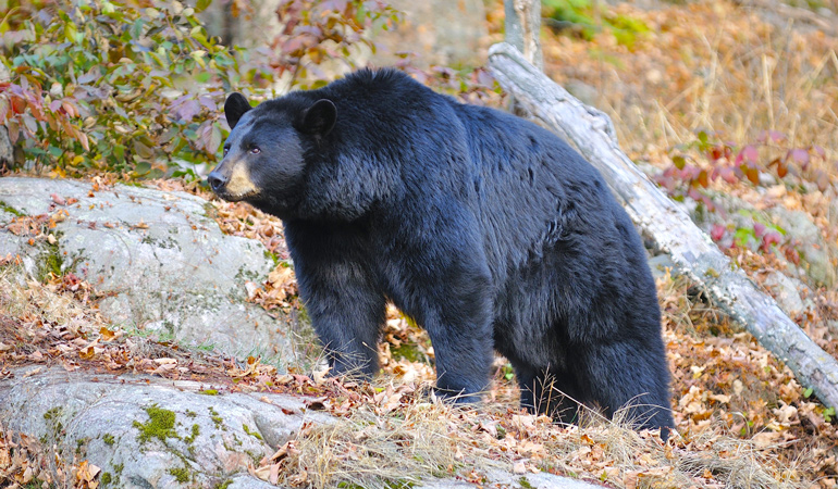 Quebec-Black-Bear.jpg
