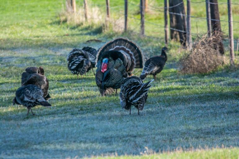 Spring-Turkeys-in-field.jpg