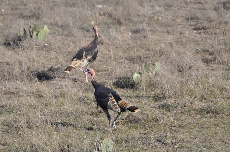 Turkeys-In-Field-Rushed-Shots.jpg