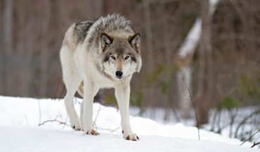 Overpopulation, perfect hunting conditions and eager hunters led to an early closure of Wisconsin's first wolf hunt in seven years.