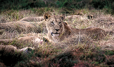 A conservation project to restore the African lion population recently scored a major victory. Find out how hunters were the driving force!