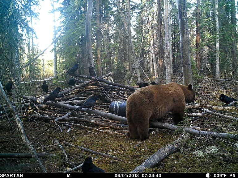 trail cam photo of black bear boar walking