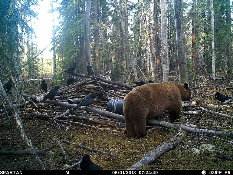 trail cam photo of black bear boar walking