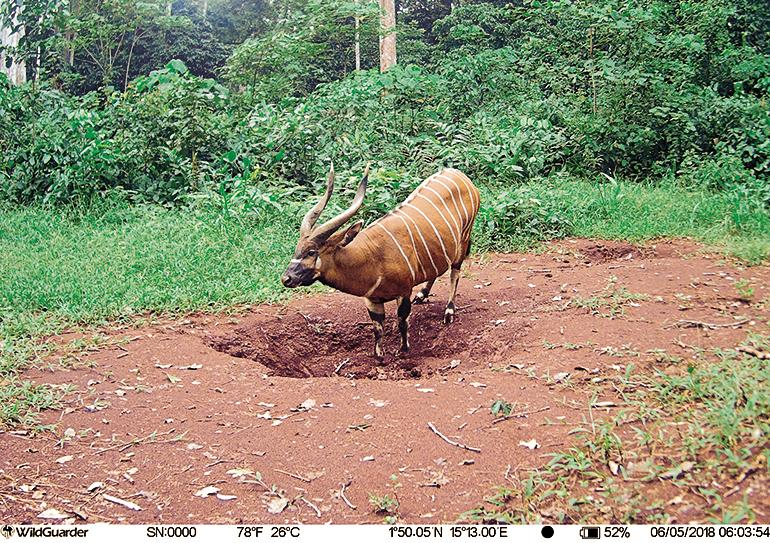 Bongo trail cam photo