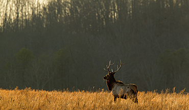 Icons of the Mountain West, wapiti are coming home to ALL the lands they once roamed.