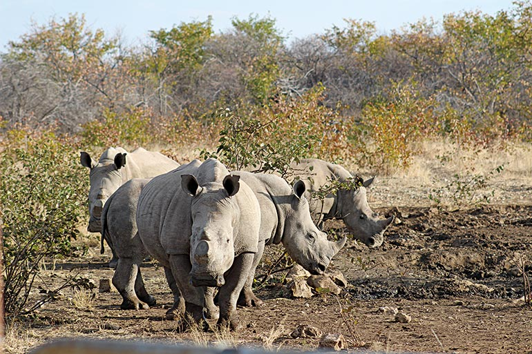 group of rhinos in Africa
