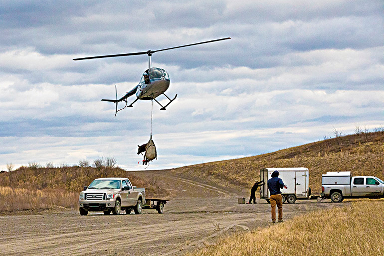 helicopter lifting elk
