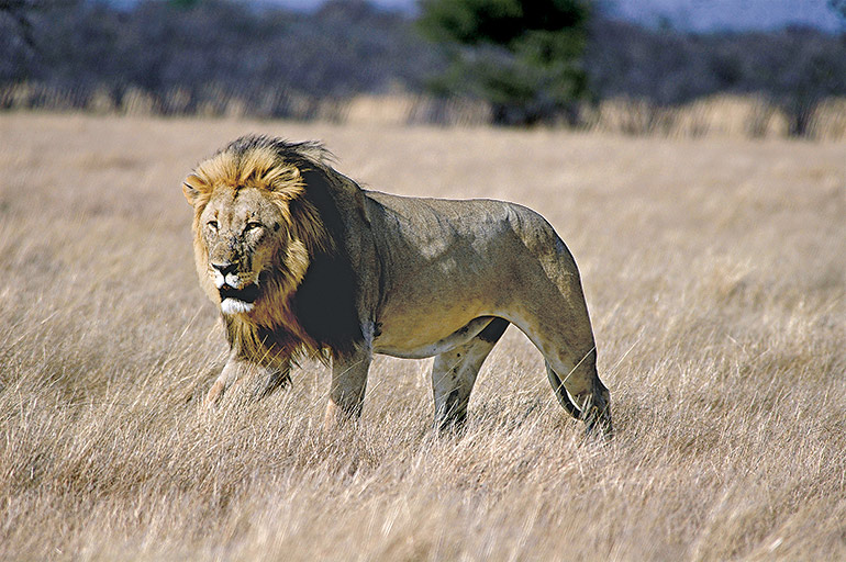 Northern Namibia lion walking through grass