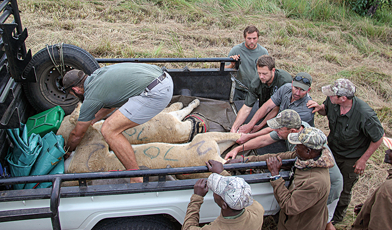 men loading lionesses for conservation transport