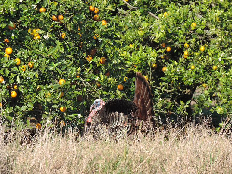 Osceola gobbler strutting by orange trees