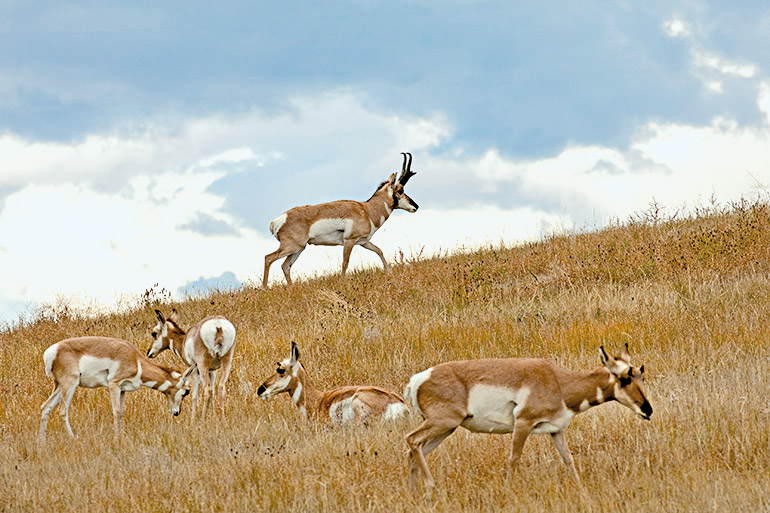 antelope herd with buck skylined
