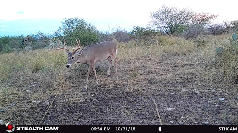 Trail camera photo of Texas buck