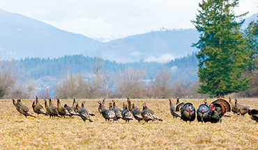 Three gobbler experts reveal how to beat tough toms at their own cunning game.