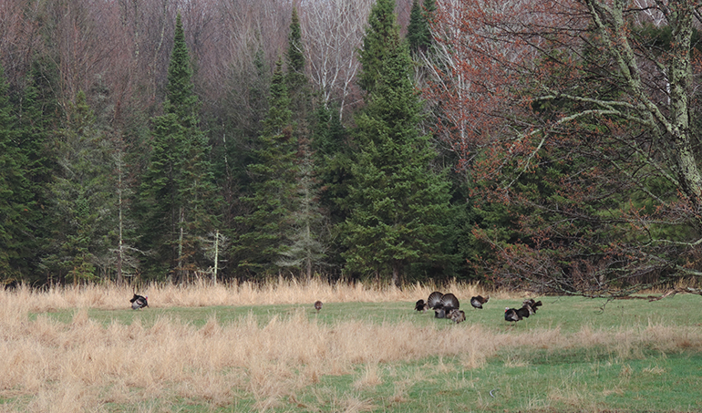 turkeys in field