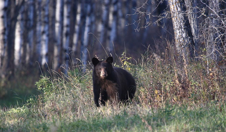 Saskatchewan-Tourism-Black-Bear.jpg