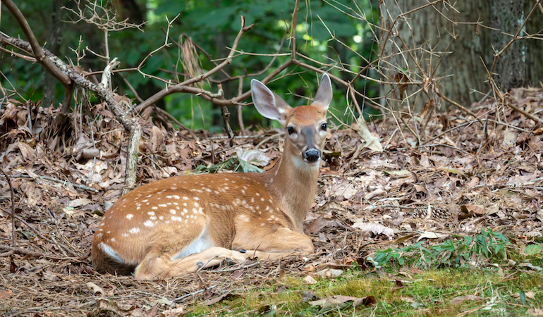 Does fawn survival improve with a decrease in the number of predators?