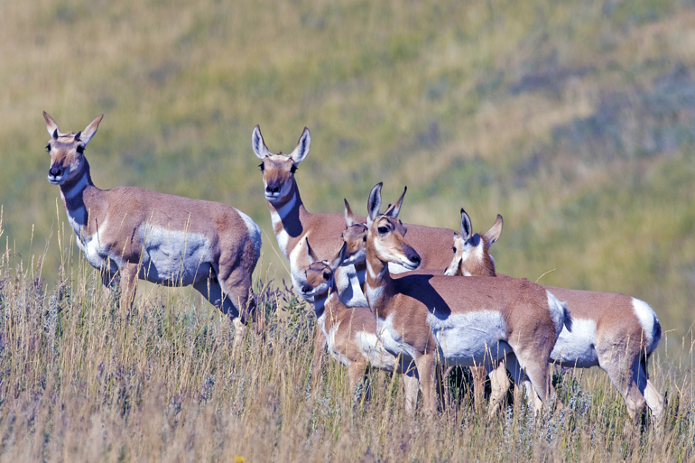 Antelope-Does-in-group.jpg