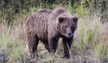 Spring bear hunts canceled in Washington, while Alaska halts all non-resident bear hunting.