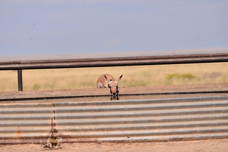antelope drinking water