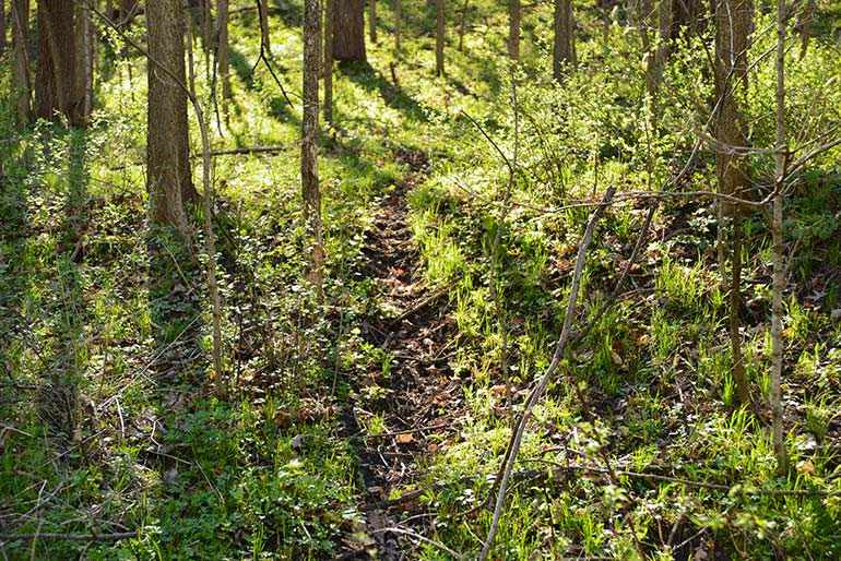 deer trail through the woods