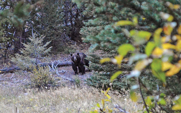 grizzly bear walking through clearing in woods