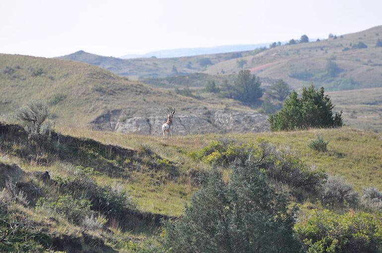 loner pronghorn buck overlooking scenic valley