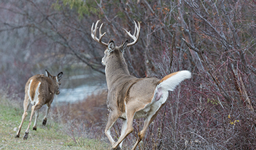 Some deer simply leave the areas they typically frequent in the fall, only to return later.