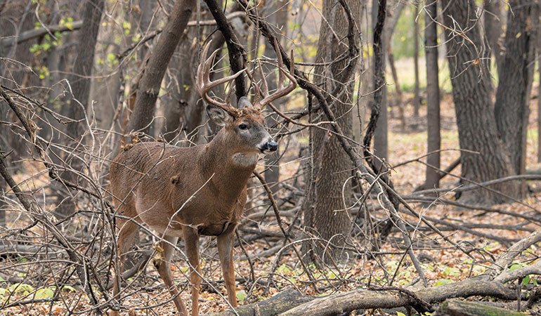 whitetail buck walking through woods
